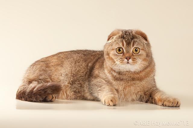 Складки ушей у шотландских кошек 44